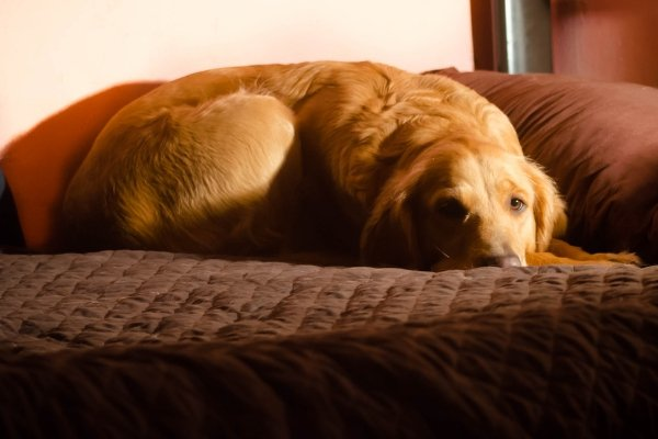 Dog Beds for Large Dogs - Which Are the Best Dog Beds_